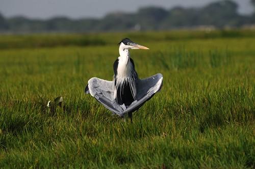coquo heron
