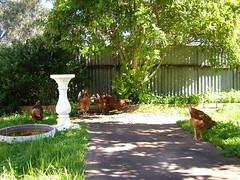 Garden chickens