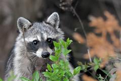 2011 Raccoon (DrLensCap) Tags: raccoon starved rock state park utica illinois animal mammal il robert kramer mygearandme mygearandmepremium trashpanda