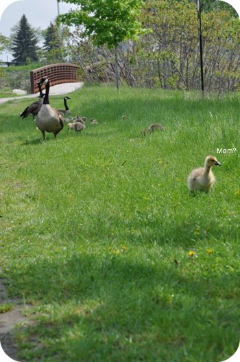 Goslings by the Ottawa River