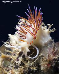 Cratena Peregrina (Marco Paravella) Tags: water mediterraneo mare foto underwater sub diving livorno gialla calafuria nudibranco cratenaperegrina
