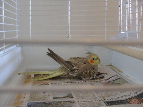 Polly hatching hazelnuts