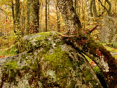 Lean on me (sven h voldum) Tags: autumn orange mountain tree green fall yellow norway rock forest norge moss woods dale skog tre stein fjell hst mose oransje gult grnt