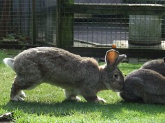Pushy Bunny (visionthing64) Tags: park rabbit animal lancashire bolton mossbank