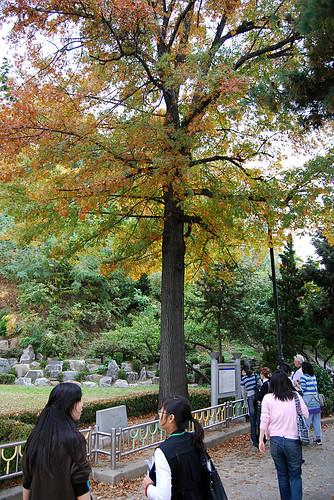 Sohn Kee-chung Laurel Tree