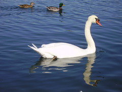 Papa Swan (Roofer 1) Tags: swan nebraska searchthebest ducks soe naturesfinest mywinners impressedbeauty