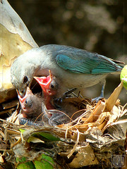 Lanche (Jorge L. Gazzano) Tags: bird birds aves pássaros filhotes pedreira sanhaço duetos sonyh9 jorgelgazzano
