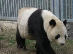 Kou Kou 2007.12.14 (TaoTaoPanda) Tags: panda koukou