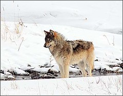 Grey Wolf, Yellowstone National Park [Explored] (Daryl L. Hunter - The Hole Picture) Tags: winter pack valley yellowstonenationalpark lamar druid greywolf naturesfinest