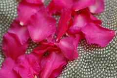 寒椿の花びら