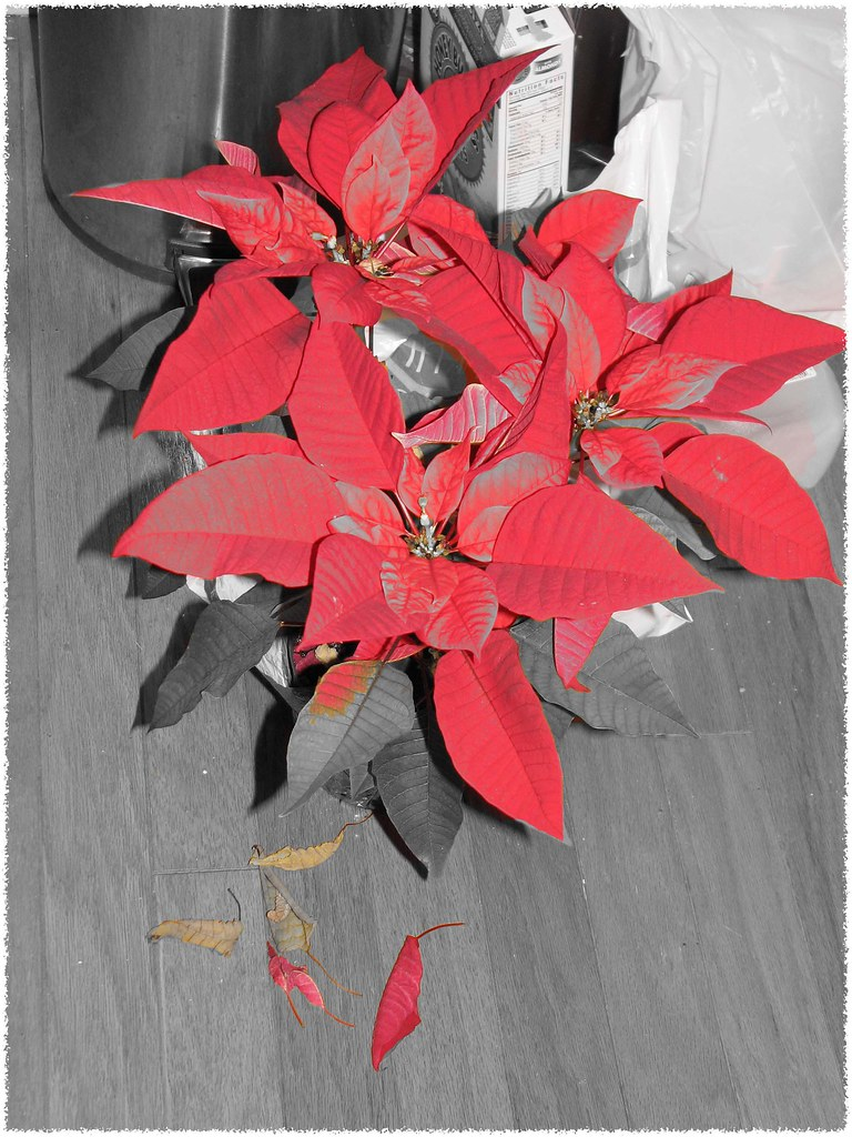 Like a Poinsettia in January