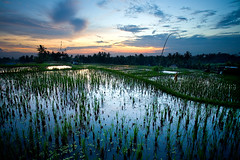 Around Ubud - Bali (Aur from Paris) Tags: travel flowers sunset bali tree nature water colors clouds indonesia landscape asia rice terraces fields asie ricefields indonesie ubud canoneos5d digitalblending aur