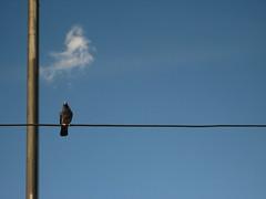 Una paloma (chocolate_buttons) Tags: blue cloud azul wire poste pigeon bogot paloma cable minimalism lightpost nube plop 20dejulio veintedejulio
