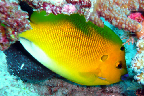 Three-spot Angelfish on Similan Islands