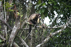 08010609092801a (Arjan Olsder) Tags: black jack monkey eating banana ape tufted eten aap ringtail zwarte capuchin banaan eet capucijneraap keskesi mutsaap rolstaartaap