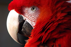 Red parrot (koalie) Tags: red bird animal parrot nicefr parcphoenix