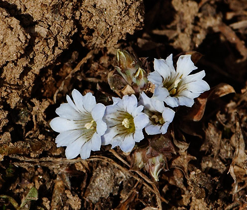 Wild flowers in Auli