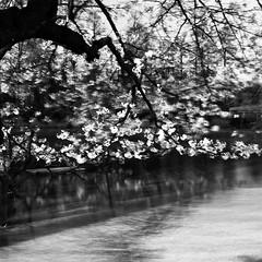 SAKURA (F_blue) Tags: tokyo fuji hasselblad  sakura cherryblossoms  500cm inokashirapark neopan100acros planart c8028 fblue2008
