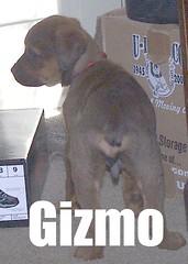 Gizmo (muslovedogs) Tags: dogs puppy mastiff rottweiler mastweiler zeusoffspring myladyoffspring