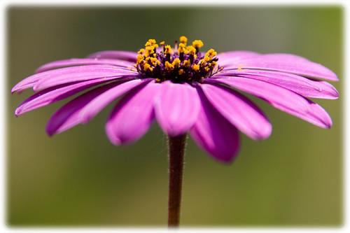 Marguerite, oxeye daisy, Leucanthemum vulgare, Chrysanthemum leucanthemum