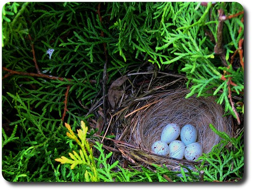 bird nest eggs birdsnest jaja ptak naturesfinest sobeautiful gniazdo freenature goldstaraward ptasiegniazdo