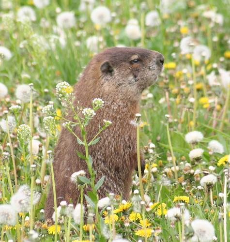 woodchuck / groundhog