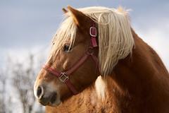 Wistful horse (Sarah Hina) Tags: horse profile farm palomino