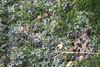 Riccia sp (alrcardoso) Tags: riccia ricciaceae hepáticas