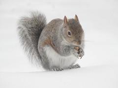 Fluffy Takes a Lunch Break (starmist1) Tags: greysquirrel squirrel snow peanut backyard feeder winter cold ice brrrrr
