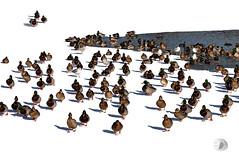 At the water hole (firstlookimages.ca) Tags: nature natureportrait art artistic artisticmanipulation animals birds ducks winter water wildlifeportraits weather snow white digitalmanipulation digitalart digitalphotography detail