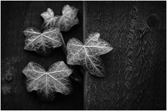 Macro Mondays - B&W - Ivy (andymoore732) Tags: macromondays macro mondays bw daylight naturallight andymoore blackandwhite monochrome greyscale nikon d500 afs vr micronikkor 105mm f28gifed challenge theme flickr