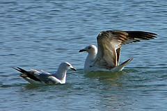 Gulls Looking Photogenic (Happy_Peasant) Tags: bird gull lakemichigan herringgull ringbilledgull loyolapark blueribbonwinner tcon17 platinumphoto