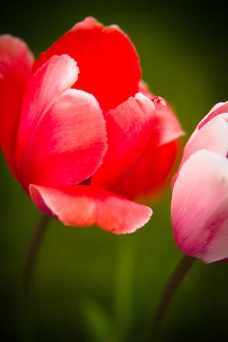 tulips-3878.jpg