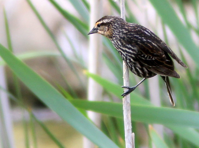 Red-winged Blackbird female 20110519