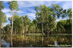Billabong (Bugalugsrox) Tags: flowers sky reflection tree water leaves clouds gum australia darwin springs swamp billabong waterlillies northernterritory paperbark howardsprings