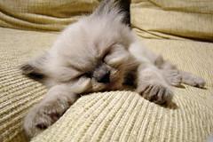 (N i c o_) Tags: pet macro cat sony kitty gata nico mascota gatita pita h9 himalayo
