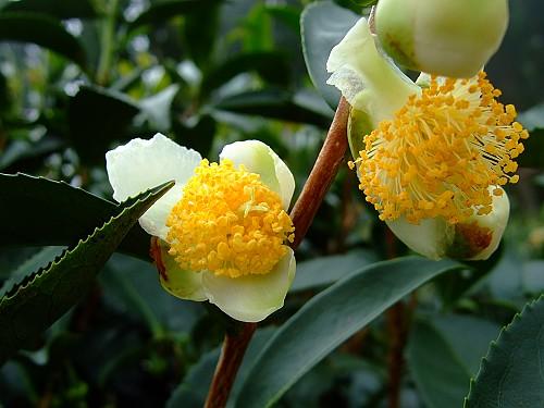 2006_1013F4 茶樹的花