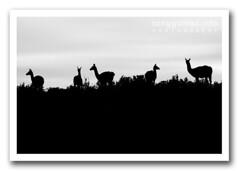 guanacos (Tony Glvez) Tags: patagonia argentina silhouette canon geotagged canoneos20d punta silueta canoneos mothernature chubut tombo peninsulavaldes guanaco puntatombo geolocated madrenaturaleza lamaguanicoe geolocalizada geoetiquetada geoposicionada geopositioned madrenatureza