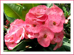 A lovely spotted pink hybrid of Euphorbia milii