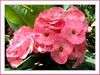A spotted pink hybrid of Euphorbia milii (Crown of Thorns)