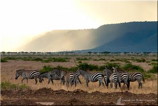 Plains Zebra, Boehm's race (Equus burchelli boehmi) - Also known as the Common or Burchell's Zebra