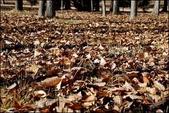 OTOO EN EL PARQUE (ABUELA PINOCHO ) Tags: parque alfombra hojas arboles otoo troncos secas a3b seeorwrite bluespointofview
