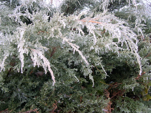 Icy Junipers