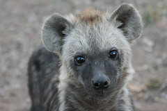 Hyena Cub (Dani Sweet) Tags: look animal fur southafrica nose cub eyes close wildlife young fluffy ears safari animalplanet hyena sute crocutacrocuta spottedhyena makalali hyaenidae taxonomy:binomial=crocutacrocuta