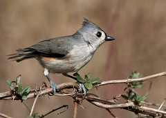 PICT0045_tuftedtitmouse-resize (gracie328) Tags: bird birds titmouse tufted