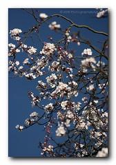 Winter Flowers - 1 (Ajit Pal Singh) Tags: show