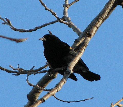 Red-Winged Blackbird (female?) Forest Park 100208