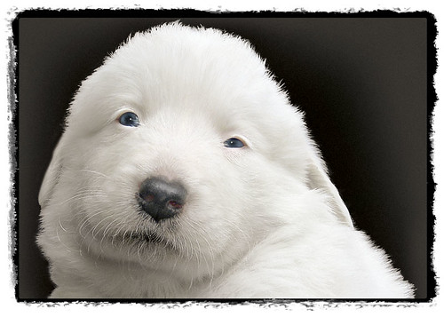 "Great Pyrenees Puppy  ""Heavy Gravy"""
