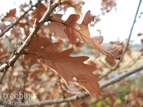 close-up of a marcescent oak leaf