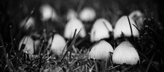 Hostile Takeover (Brian Auer) Tags: blackandwhite bw white black nature mushroom monochrome grass outside blackwhite outdoor live sony low caps grow naturallight ground fungi growth fungus alive grayscale colorless a700 sonya700 february08